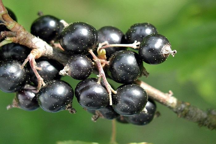 Černý rybíz - vitaminová bomba