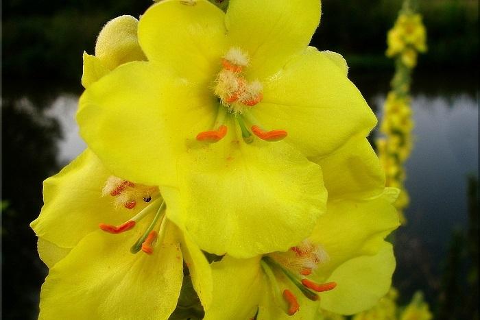 Divizna velkokvětá - vytáhlá letní bylinka