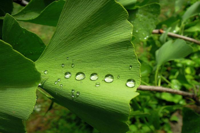 Ginkgo biloba neboli jinan dvoulaločný