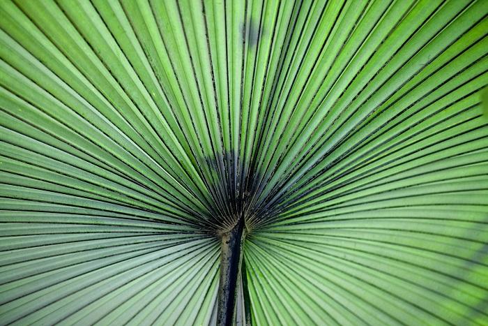 Léčivá palma pro mužskou potenci. Serenoa repens pomáhá nejen s erekcí