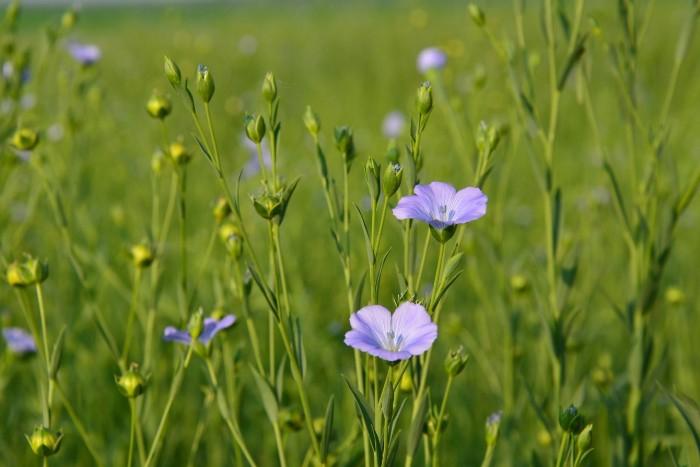 Lněné semínko a jeho výhody