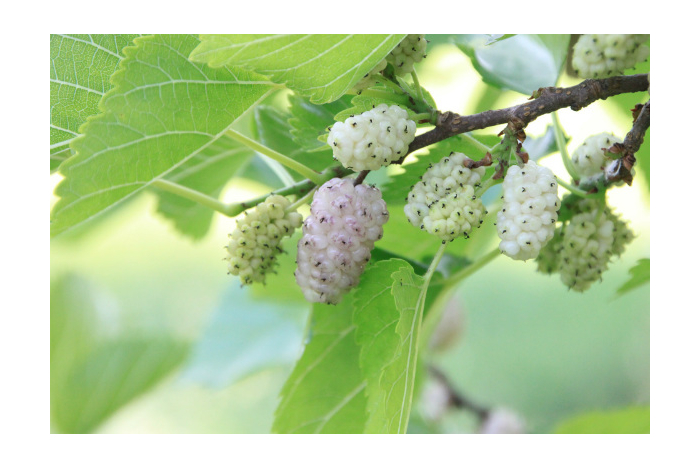 Moruše a její plody: Účinky na zdraví