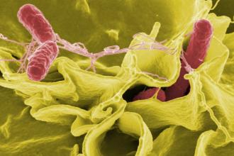 Salmonela - prevence, příznaky, léčba