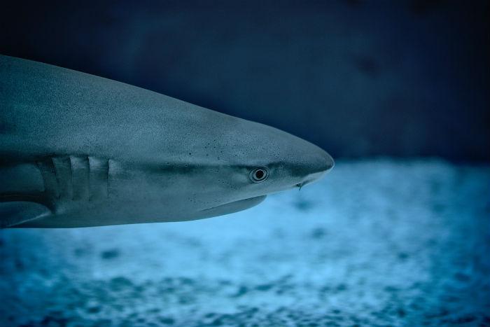 Žraločí chrupavka